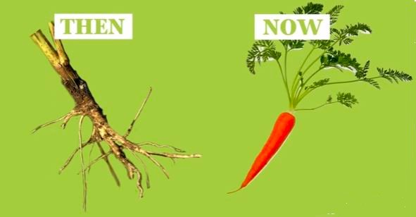 Carrot Now and then - wild and domestic